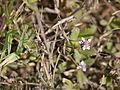 Phyla nodiflora (7202547924).jpg