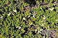 Phyllodoce aleutica and Vaccinium vitis-idaea.jpg