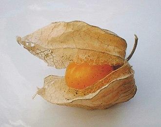 Physalis peruviana - Calyx open, exposing the ripe fruit