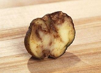 Highland Potato Famine - Cross-section of a blighted potato tuber