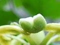 Pièces florales de Passiflora edulis 01.jpg