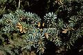 Picea pungens USDA4.jpg