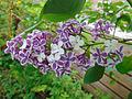Picotee lilac sports to pure white.jpg