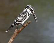 Pied Kingfisher (Ceryle rudis) in Hyderabad W IMG 8335