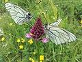 Pieridi del biancospino su Orchidea piramidale.jpg
