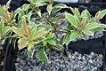 Pieris japonica Little Heath 0zz.jpg