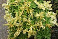 Pieris japonica Sarabonde 1zz.jpg