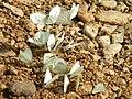 PikiWiki 20451 Wildlife and Plants of Palestine.jpg