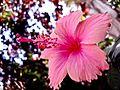 PikiWiki Israel 28801 Pink Flower.jpg