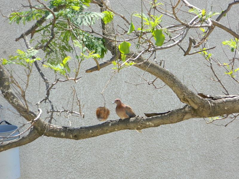 עוף גוזל