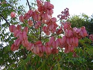 Koelreuteria bipinnata - fruits of koeltreuteia bipinnata
