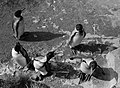 Pinguins, Bestanddeelnr 254-5630.jpg