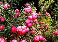 Pink Mountain Berries Lake St Clair.jpg