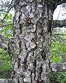 Pinus banksiana bark.jpg