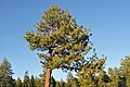 Pinus jeffreyi TahoeNV.jpg