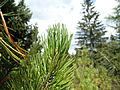 Pinus mugoSAM 0353 01.jpg