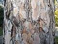 Pinus nigra (1111) 17.JPG