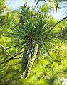 Pinus strobus cones Maryland 2.jpg