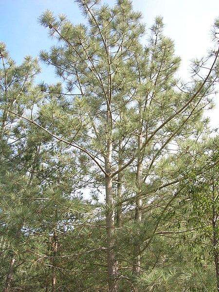 File:Pinus torreyana insularis tree.jpg