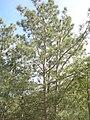 Pinus torreyana insularis tree.jpg