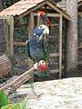 Pionus senilis -Macaw Mountain Bird Park, Honduras-8b.jpg
