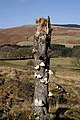 Piptoporus betulinus on an old birch stump - geograph.org.uk - 1728303.jpg