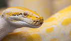 Pitón de la India (Python molurus), Zoo de Ciudad Ho Chi Minh, Vietnam, 2013-08-14, DD 10.JPG