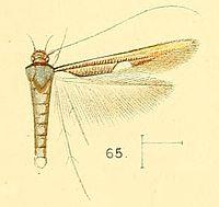 Pl.6-fig.65-Zaratha muricicoma Walsingham, 1891.jpg