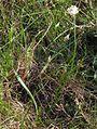 Plantago argentea ssp, liburnica PID1841-1.jpg