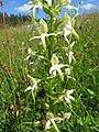 Platanthera chlorantha 14.jpg