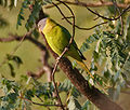 Plum-headed Parakeet (Psittacula cyanocephala) in Kawal WS, AP W IMG 2064.jpg