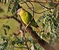 Plum-headed Parakeet (Psittacula cyanocephala) in Kawal WS, AP W IMG 2064.jpg