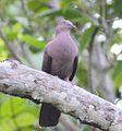 Plumbeous Pigeon (Patagioenas plumbea) (8079745172) (cropped).jpg
