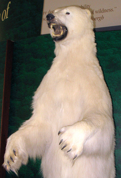 Dosiero:Polar bear taxidermied.jpg