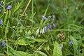 Polygala vulgaris in national natural monument U Hajnice in 2011 (1).JPG