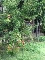 Pomegranate-Chernomorets.jpg