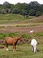 Ponies on the heath north of Splash Bridge, New Forest - geograph.org.uk - 236189.jpg