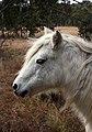 Pony (5948456482).jpg