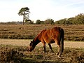 Pony grazing on Fritham Plain, New Forest - geograph.org.uk - 81109.jpg