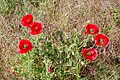 Poppies near Denge, Kent (40134325641).jpg