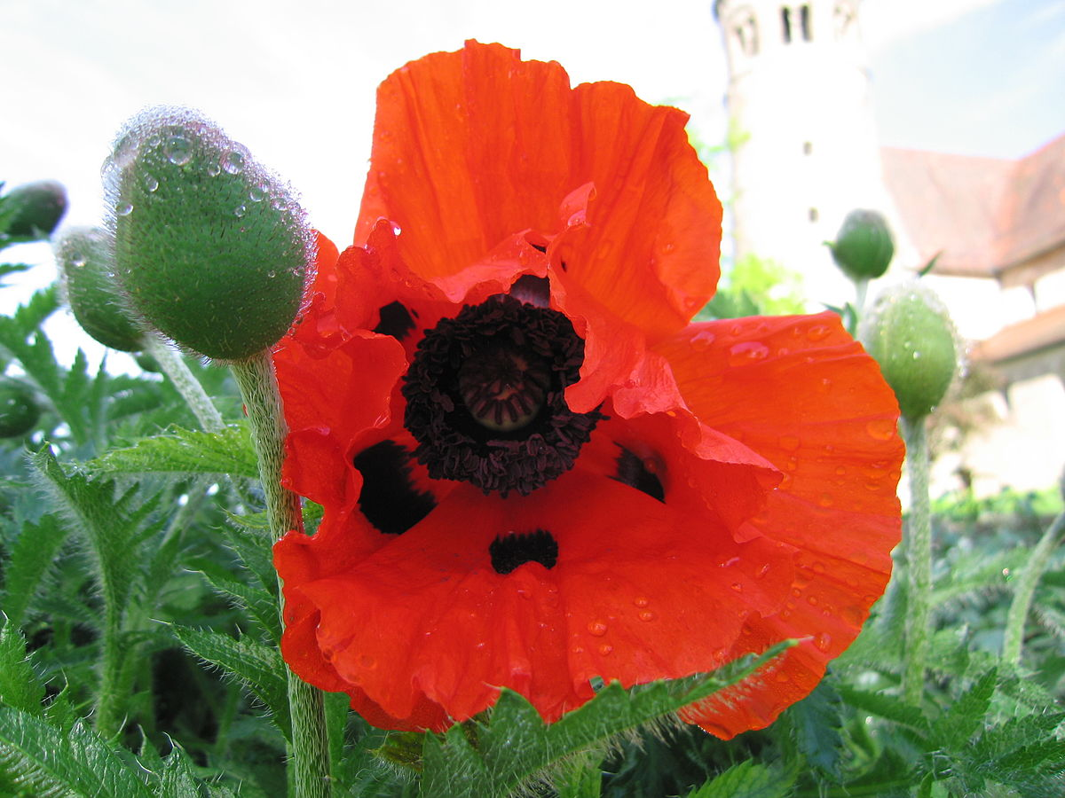 Poppy Given Name Wikipedia