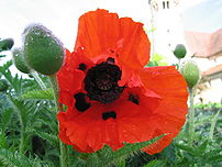 Closeup of a poppy flower at the Monastery of ...