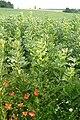 Poppy - folly - geograph.org.uk - 883352.jpg