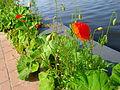 Poppy near water.JPG