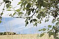 Populus alba-4476.jpg