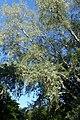 Populus grandidentata kz06.jpg