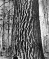 Populus heterophyla USFS.png