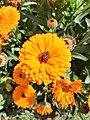Pot Marigold Flower.jpg