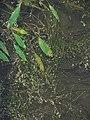 Potamogeton natans IMG 5263.jpg