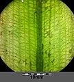 Potamogeton nodosus sl10.jpg